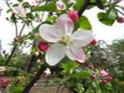Jigsaw: Apple Blossom